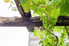 Bunch of grapes with green leaves Royalty Free Stock Photos