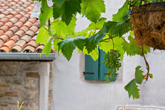 Bunch of grapes with green leaves Royalty Free Stock Photo