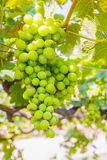 Bunch of grapes on with green leaves Stock Images
