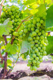 Bunch of grapes on with green leaves Royalty Free Stock Photography