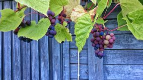 Bunch of grapes with green leaves Stock Photos