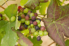 Bunch of grapes with green leaves Royalty Free Stock Photography