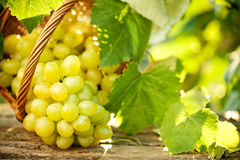 Bunch of grapes with green vine leaves Royalty Free Stock Photos