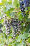Bunch of grapes with green vine leaves in basket Royalty Free Stock Image