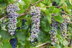 Bunch of grapes with green vine leaves in basket Stock Photos