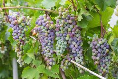 Bunch of grapes with green vine leaves in basket Stock Images