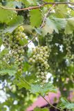 Bunch of grapes with green vine leaves in basket. On wooden table against vineyard background in spring Stock Image