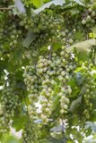 Bunch of grapes with green vine leaves in basket. On wooden table against vineyard background in spring Stock Photo