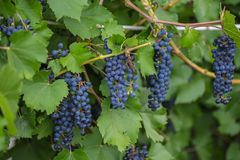 Bunch of grapes with green vine leaves in basket Royalty Free Stock Photo