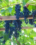 Bunch of grapes with green vine leaves in basket. On wooden table against vineyard background in spring Royalty Free Stock Photos