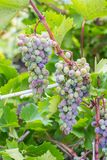 Bunch of grapes with green vine leaves in basket Stock Photography