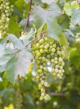 Bunch of grapes with green vine leaves in basket Stock Photo