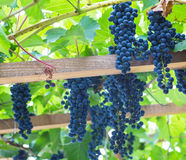 Bunch of grapes with green vine leaves in basket. On wooden table against vineyard background in spring Royalty Free Stock Photography