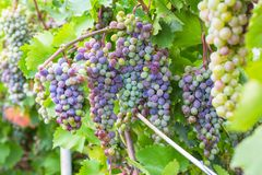 Bunch of grapes with green vine leaves in basket. On wooden table against vineyard background in spring Royalty Free Stock Photo