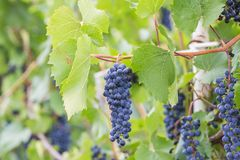 Bunch of grapes with green vine leaves in basket. On wooden table against vineyard background in spring Stock Photography