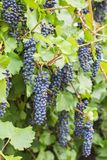 Bunch of grapes with green vine leaves in basket. On wooden table against vineyard background in spring Royalty Free Stock Image