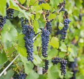 Bunch of grapes with green vine leaves in basket Royalty Free Stock Photography