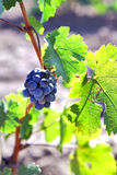 Bunch of grapes growing on the vinebeautiful burgundy Most vine Royalty Free Stock Photo