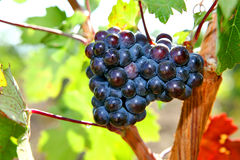 Bunch of grapes growing on the vinebeautiful burgundy Most vine Royalty Free Stock Photos
