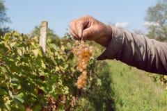 Bunch of grapes in hand of senior farmer. Vineyard of rural community Royalty Free Stock Image