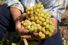 Bunch grapes in the hands of the winemaker. Bunch of white grapes in the hands of the winemaker stock photos