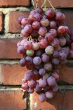 Bunch of grapes hanging on a brick wall royalty free stock photos