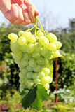 Bunch of grapes in his hand. A bunch of grapes, grape leaf in his hand. Symbol of viticulture and wine Stock Images