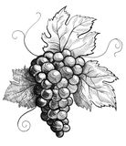 Bunch of grapes. Ink black and white drawing of a bunch of grapes royalty free illustration