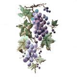 Bunch of grapes with leaves. Royalty Free Stock Images