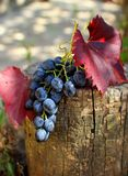 Bunch of grapes with leaves Stock Image