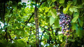 Bunch of grapes in leaves Stock Image