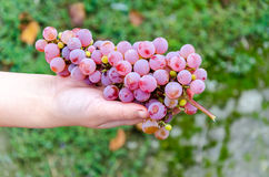 Bunch of grapes lying in the hands. Bunch of grapes on a background of autumn foliage yellowed stock photo