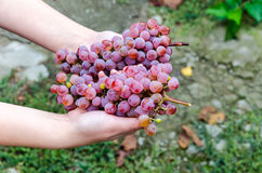 Bunch of grapes lying in the hands. Bunch of grapes on a background of autumn foliage yellowed royalty free stock photo