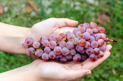 Bunch of grapes lying in the hands. Bunch of grapes on a background of autumn foliage yellowed royalty free stock photos