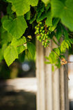 Bunch of grapes near the column Royalty Free Stock Images