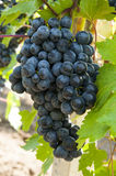 Bunch of grapes. A plantation of grapevines of moldova Royalty Free Stock Image