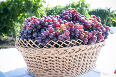 Bunch of grapes. A plantation of grapevines of moldova Stock Photo