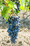 Bunch of grapes. A plantation of grapevines of moldova Royalty Free Stock Photos