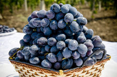 Bunch of grapes. A plantation of grapevines of moldova Stock Image