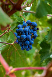 Bunch of Grapes. A plump bunch of grapes hangs on a vine in a vineyard.  The grapes are surrounded by thick, green leaves Royalty Free Stock Photography