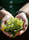 Bunch of grapes. Bunch of ripe white grapes in palms Stock Image