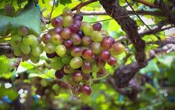 Bunch of grapes. Shoot at Viet Nam Stock Photos