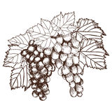 Bunch of grapes sketch style vector illustration. Old engraving imitation. Hand drawn Stock Image