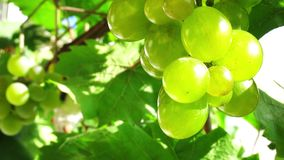 Bunch of grapes in the sun. Grapes in the garden. Fruit and grape leaves. Close up stock footage