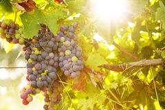 Bunch of grapes at sunset Royalty Free Stock Images