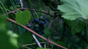 A bunch of grapes sways in the wind.