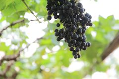 Bunch with grapes and trees. In close up royalty free stock images