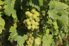 A Bunch of Grapes. Unripe grapes on the vine royalty free stock images
