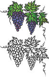 Bunch of grapes. Vector illustration. Layers are managed and arranged for easy editing Stock Photos