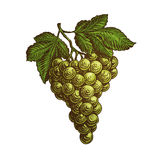 Bunch of grapes. Vector illustration Stock Photos